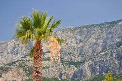Palm tree with high croatian mountain Biokovo Royalty Free Stock Image