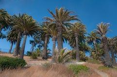 Palm Tree Hill. Palm trees spread across coastal hill in California Stock Image