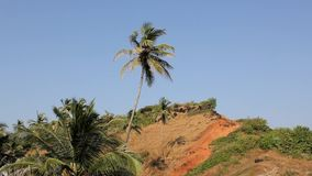 Palm tree on the hillside against a clean blue sky stock footage
