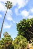Palm tree. Huge palm tree against bright blue sky Stock Photos