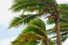 Palm tree at the hurricane, Blur leaf cause windy and heavy rain. Stock Images