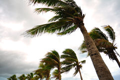 Palm tree at the hurricane. Blur leaf cause windy and heavy rain Royalty Free Stock Photo