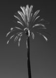 Palm Tree IR Royalty Free Stock Photo