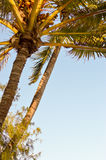 Palm tree isolate in a blue Royalty Free Stock Photos