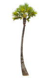 Palm tree on isolate white background Royalty Free Stock Photography