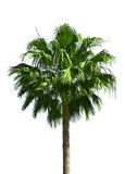 Palm tree isolated Stock Images