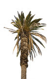 Palm tree isolated Stock Photography