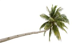 Palm tree isolated. On white background Stock Photography