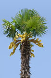 Palm tree isolated on blue Stock Image