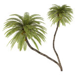 Palm tree isolated. Cocos Nucifera Royalty Free Stock Photos