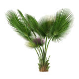 Palm tree isolated. Copernicia baileyana. See my other works in portfolio Stock Photos