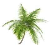 Palm tree isolated. Dictyosperma Album Royalty Free Stock Photos
