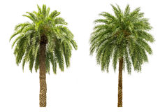Palm tree isolated Royalty Free Stock Images