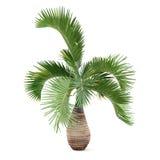 Palm tree isolated. Hyophorbe lagenicaulis Royalty Free Stock Images
