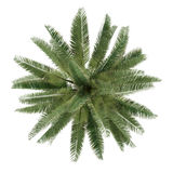 Palm tree isolated. Jubaea chilensis top view Stock Photo