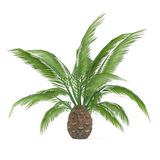 Palm tree isolated. Phoenic canariensis. See my other works in portfolio Royalty Free Stock Photo