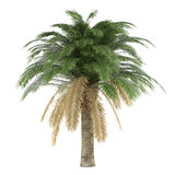 Palm tree isolated. Phoenix Canariensis Royalty Free Stock Images
