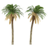Palm tree isolated. Phoenix Canariensis Stock Images