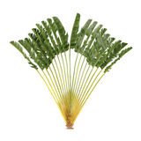 Palm tree isolated. Ravenala madagascariensis royalty free illustration