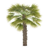 Palm tree isolated. Sabal Palmetto Stock Photography