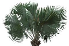 Palm tree isolated stan alone stock photos