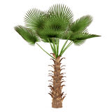 Palm tree isolated. Trachycaprus fortunei Stock Images