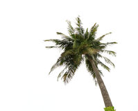 Palm Tree Isolated on White. A tropical coconut palm tree seen here isolated on a white background Royalty Free Stock Photo