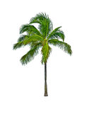 Palm tree isolated on white Stock Photography