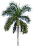 Palm tree isolated on white. Coconut palm tree isolated on white Stock Photography