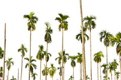 Palm tree isolated on white . Royalty Free Stock Photography