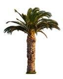 Palm tree isolated on white Stock Image