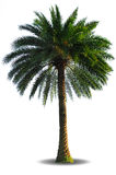 Palm tree isolated on white background. Canary island date palm tree isolated on white background Royalty Free Stock Photography