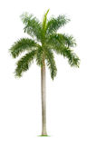 Palm tree. Isolated on white background Royalty Free Stock Photos