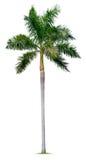 Palm tree. Isolated on white background Stock Image