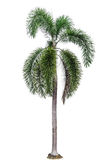 Palm tree isolated Stock Photos