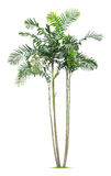 Palm tree. Isolated on white background Royalty Free Stock Image