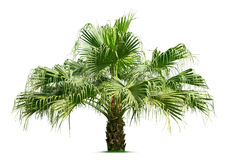 Palm tree. Isolated on white background Stock Photography