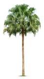 Palm tree. Isolated on white background Stock Photo