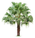 Palm tree. Isolated on white background Stock Images
