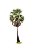 Palm tree isolated on white Royalty Free Stock Images