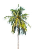 Palm tree isolated on a white background Stock Image
