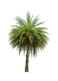 Palm tree isolated on white background Royalty Free Stock Photography