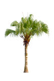 Palm tree isolated. Stock Image