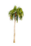 Palm tree isolated. Royalty Free Stock Photo