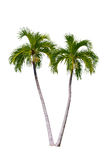 Palm tree isolated.