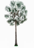 Palm tree isolated. Stock Images