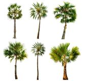 Palm tree isolated on white background with Clipping Path Royalty Free Stock Images