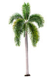 Palm tree isolated on white background with clipping path Royalty Free Stock Image