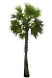 Palm tree isolated on white background Royalty Free Stock Image