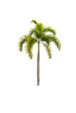 Palm tree isolated on white Stock Images